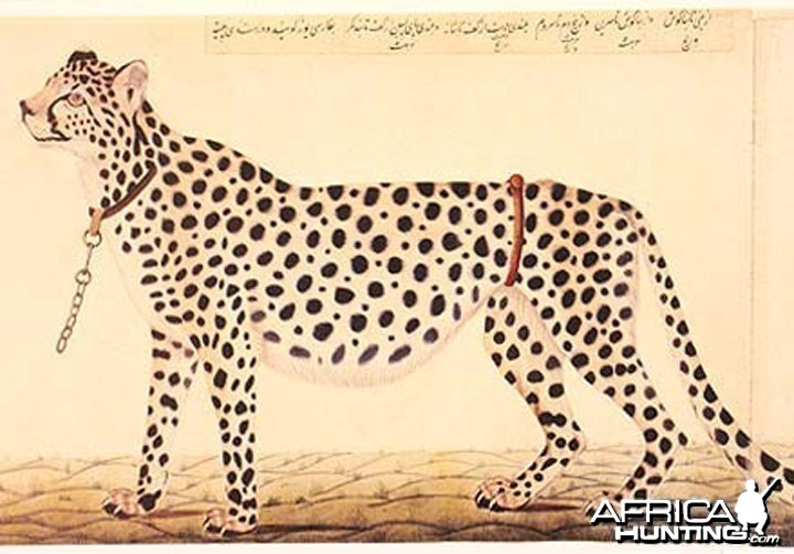 Tame Cheetah for hunting