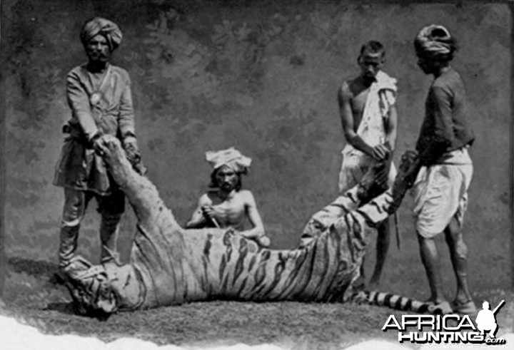 A man-eater Tiger hunted in India by John Stoddard with natives in 1890s