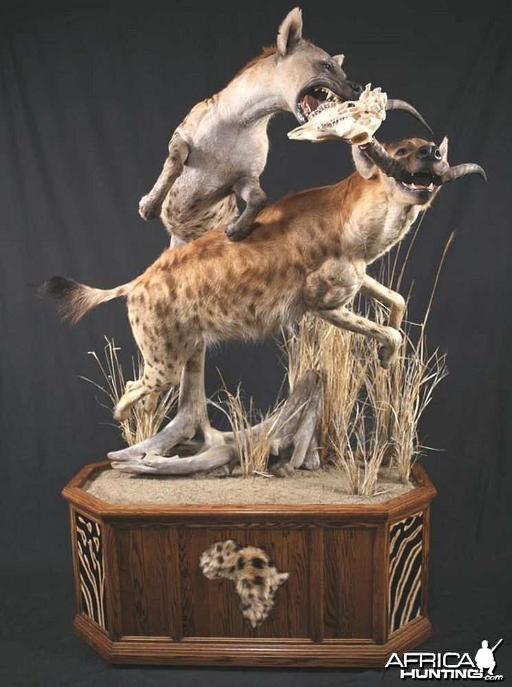 Hyena taxidermy scene by The Artistry of Wildlife
