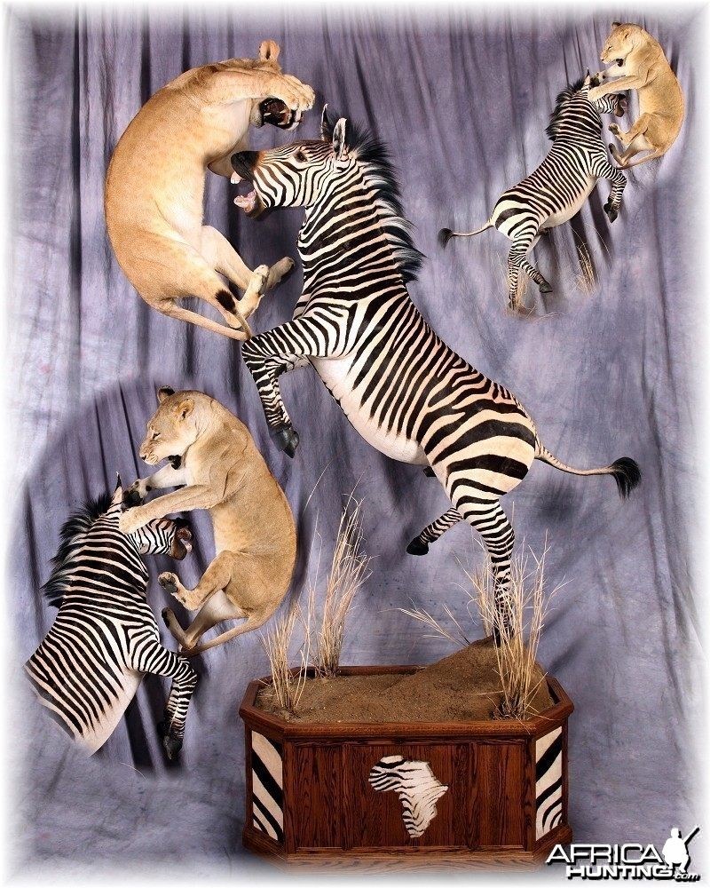 Zebra Lioness taxidermy scene by The Artistry of Wildlife