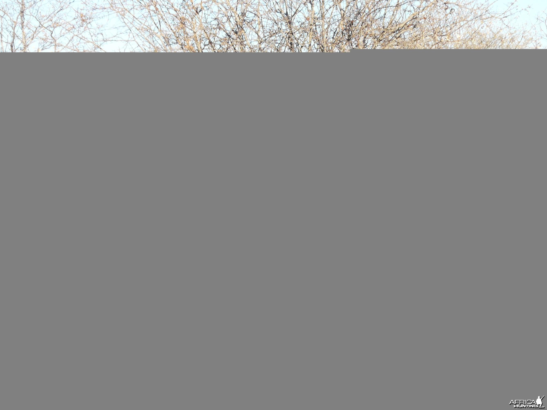 """32"""" Cape Eland taken near Grootfontein, Namibia"""