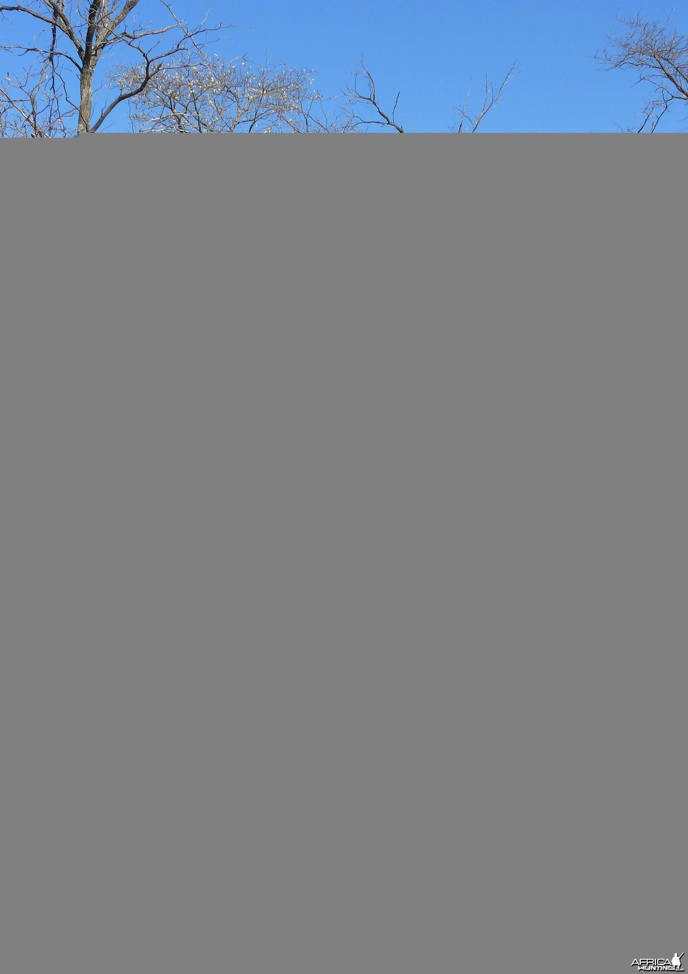 "39"" Gemsbok Bull shot near Grootfontein, Namibia"