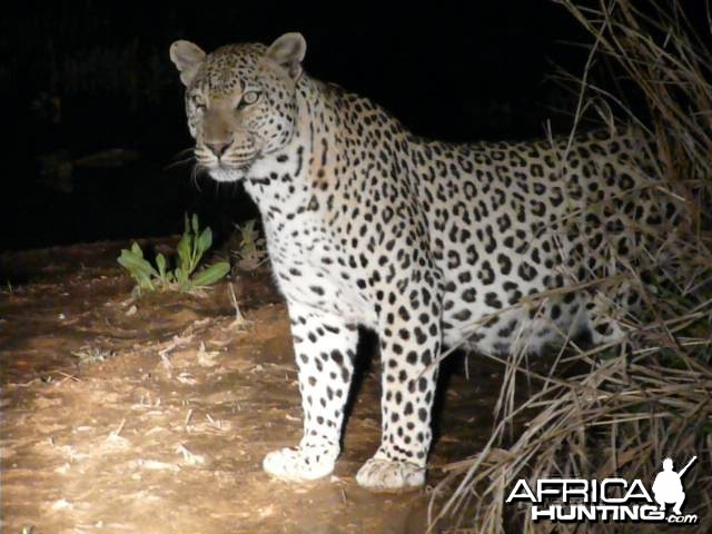 Male Leopard 3 metres from the vehicle