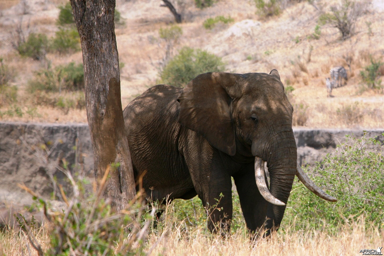 Big Elephant... Tanzania
