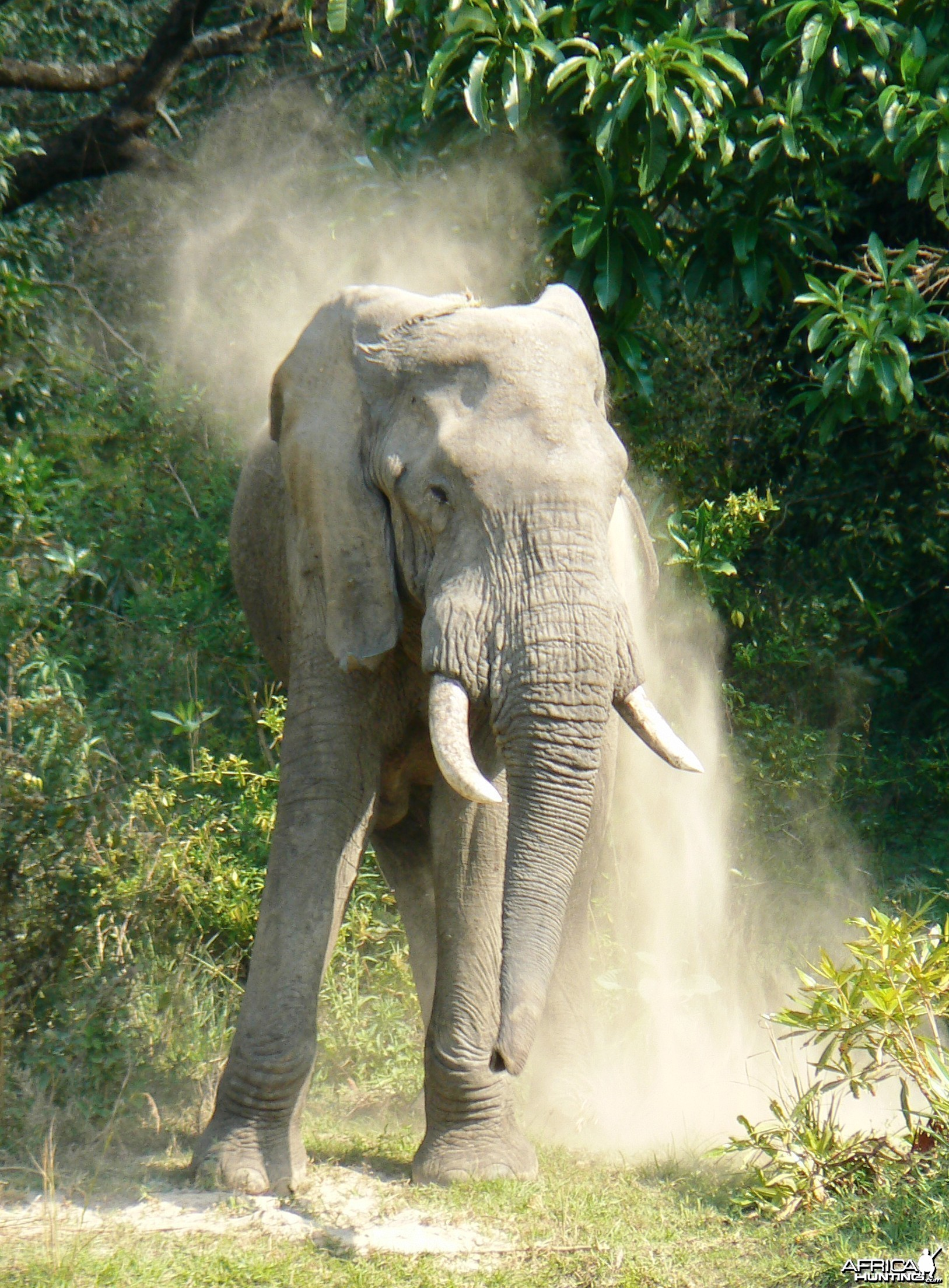 Dust shower... Elephant in Tanzania