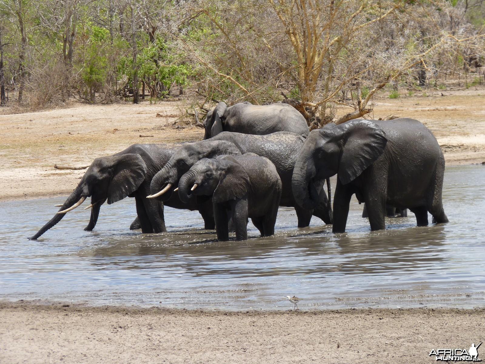 Elephant drinking in Tanzania