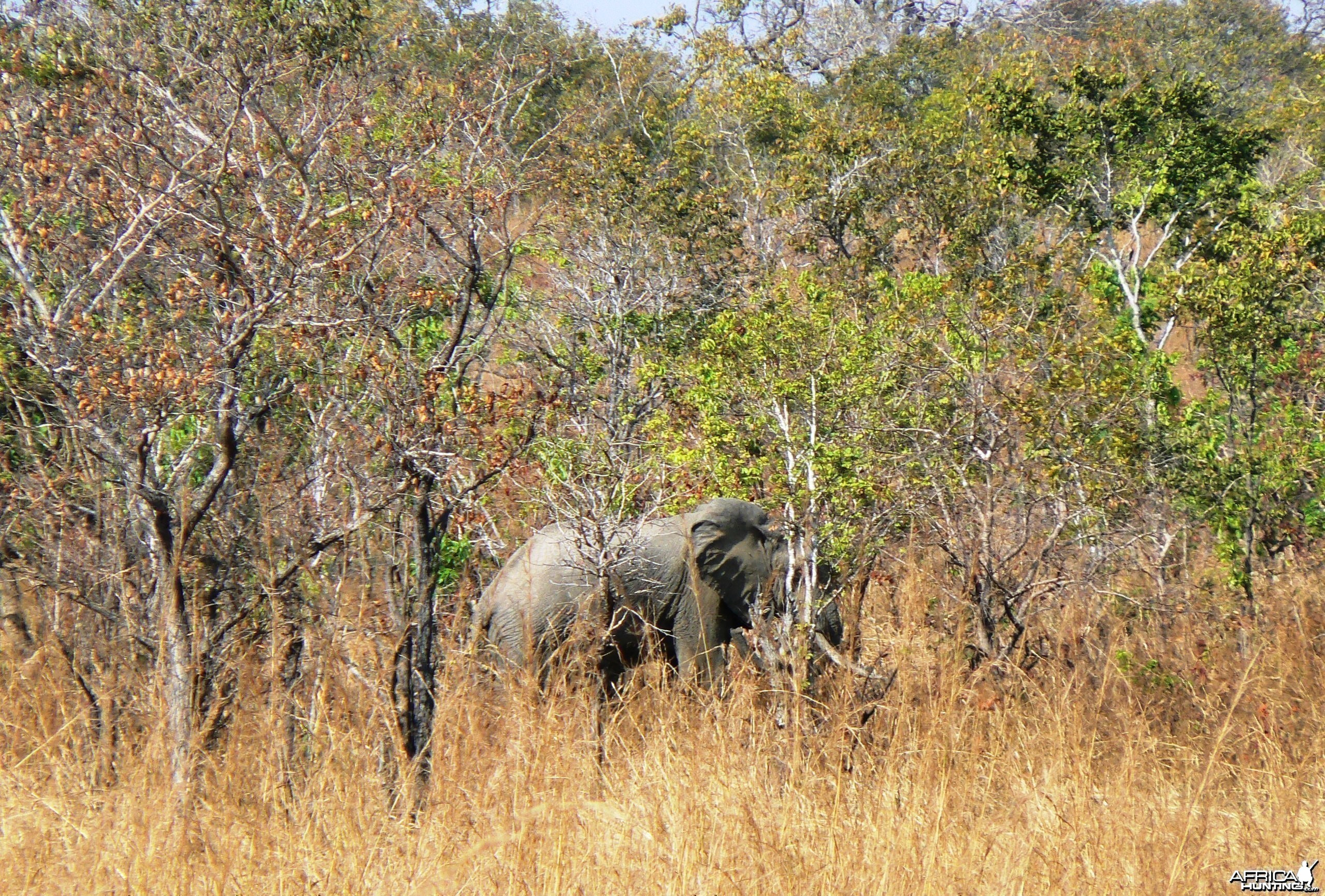 In the miombo... Elephant in Tanzania