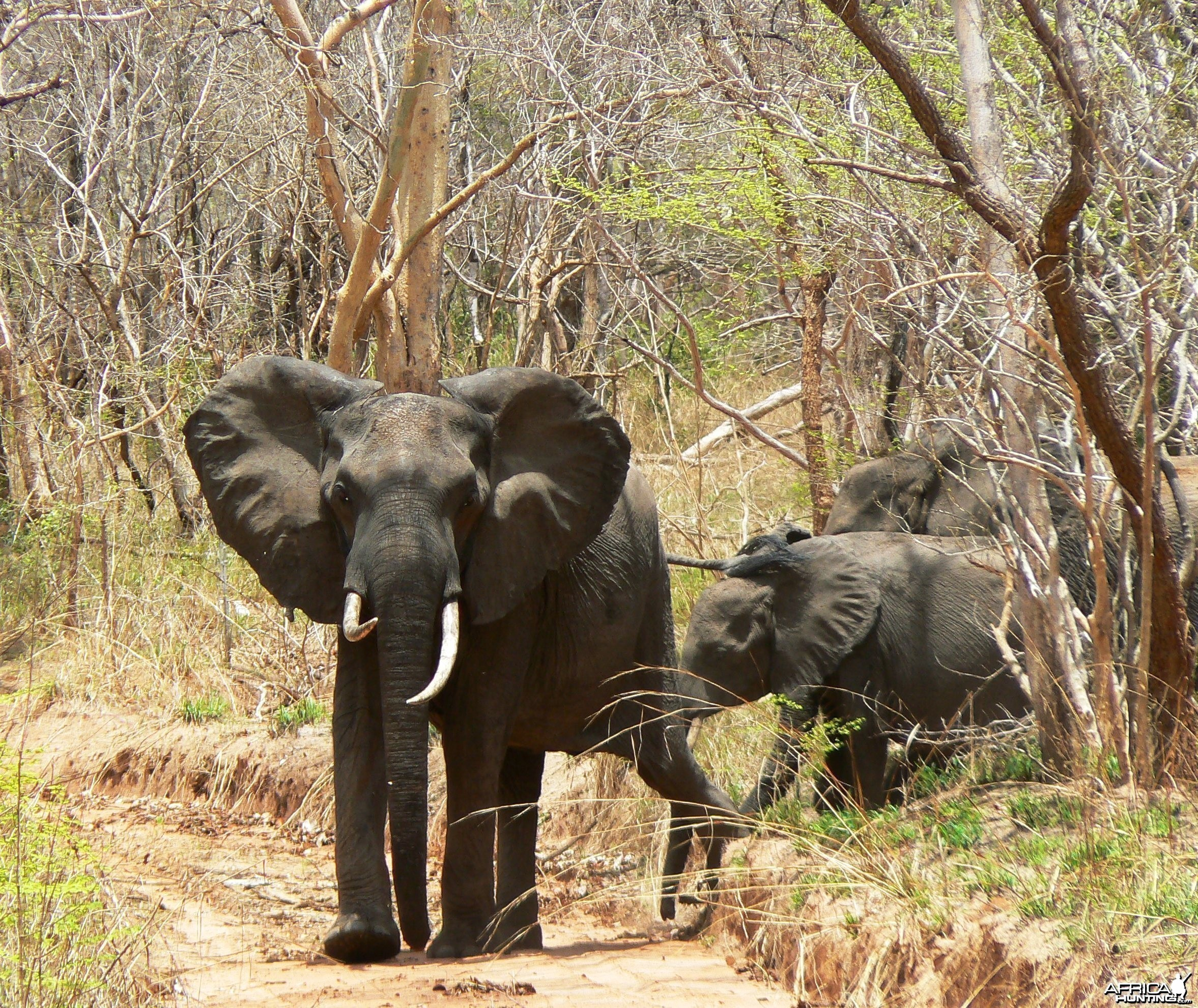 Female and calf... Elephant in Tanzania