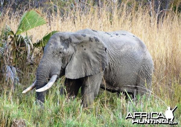 Old bull... Elephant in Tanzania