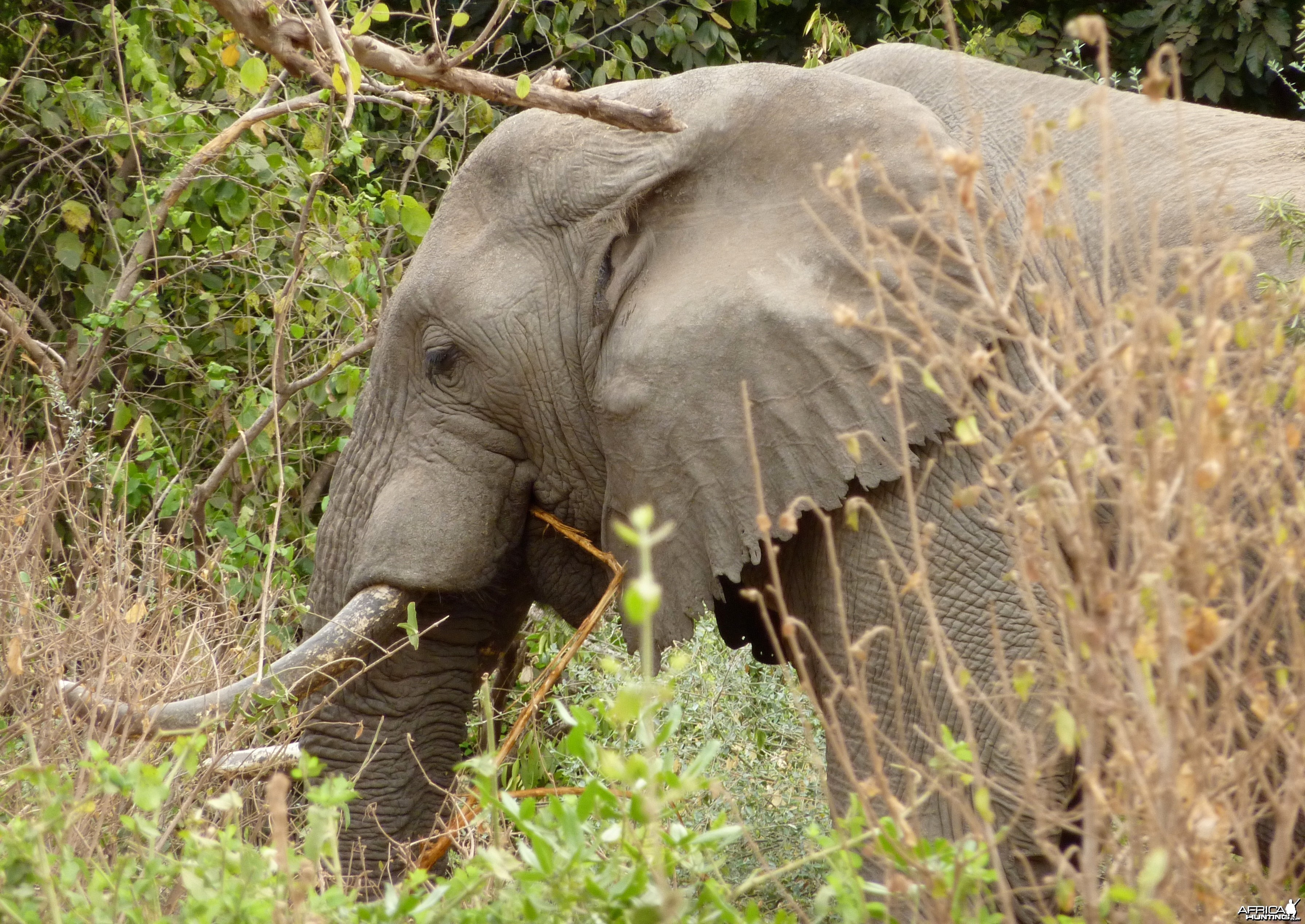 Dark ivory... Elephant in Tanzania