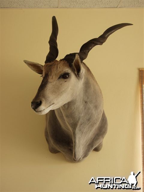 "46"" Cape Eland shoulder mount"