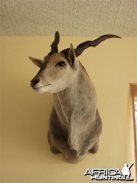 """46"""" Cape Eland shoulder mount"""