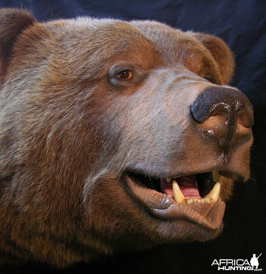 Brown Bear taxidermy by The Artistry of Wildlife