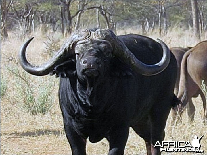 Senatla the buffalo bull that fetched an incredible auctioneering price