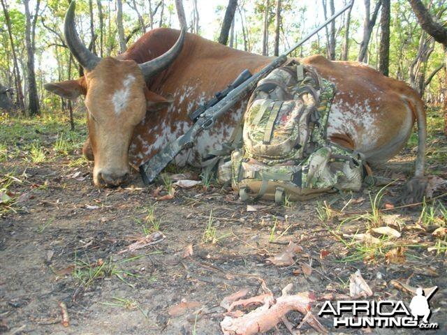 Northern Territory Australia - Scrub Bull
