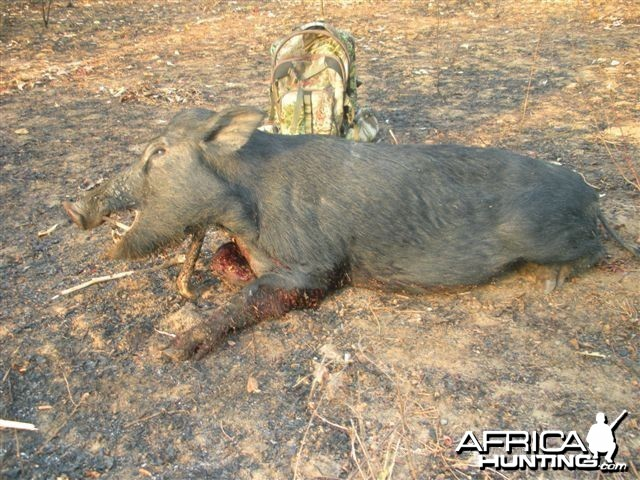 Northern Territory Boar - Australia