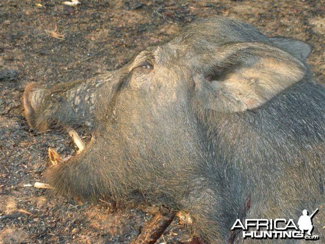 Australian wild boar