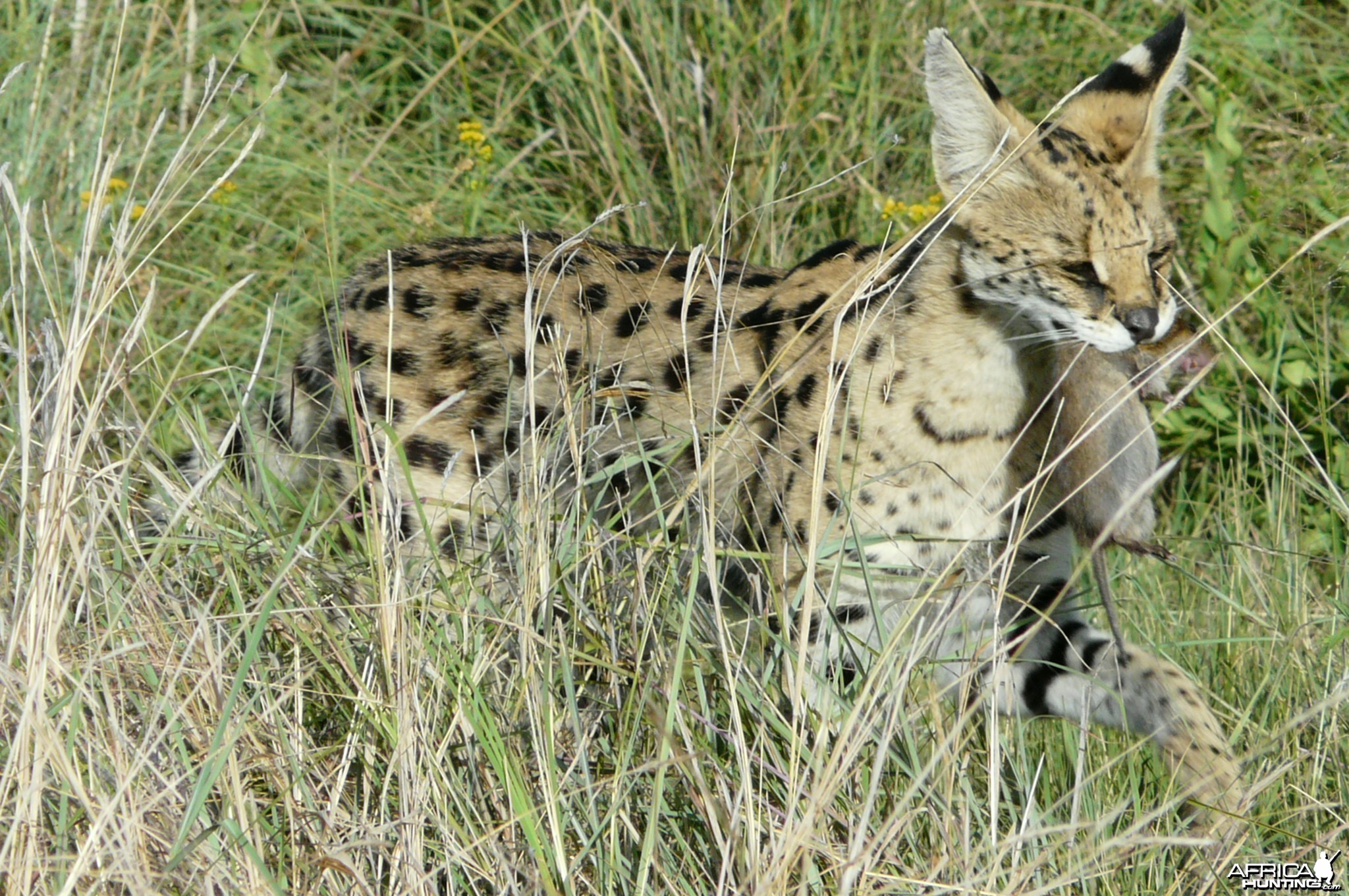 Serval caught a veld mouse, pic by Charl Kemp