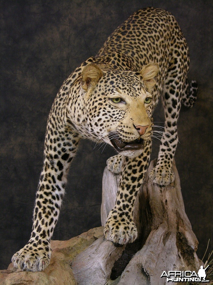 Taxidermy Leopard Mount by The Artistry of Wildlife