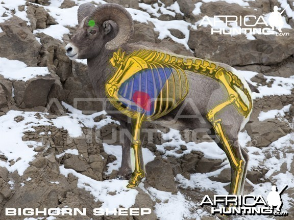 Bowhunting Vitals Bighorn Sheep