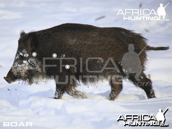 Bowhunting Vitals Boar