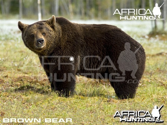Bowhunting Vitals Brown Bear
