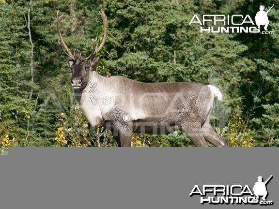 Bowhunting Vitals Caribou