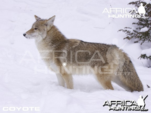 Bowhunting Vitals Coyote
