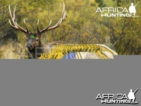 Bowhunting Vitals Elk