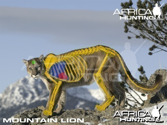 Bowhunting Vitals Mountain Lion