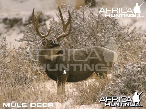 Bowhunting Vitals Mule Deer