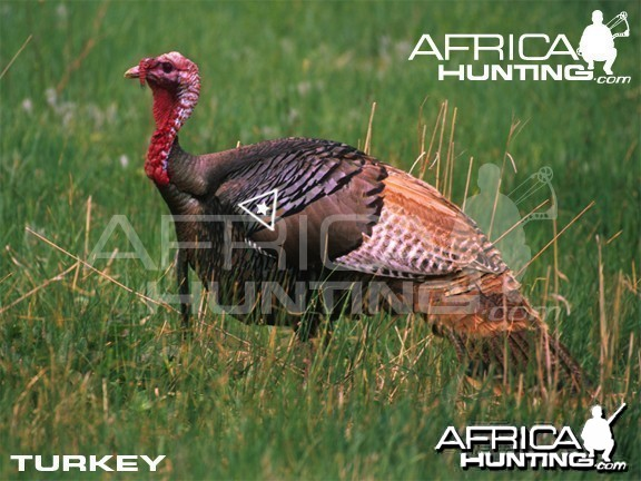 Bowhunting Vitals Turkey