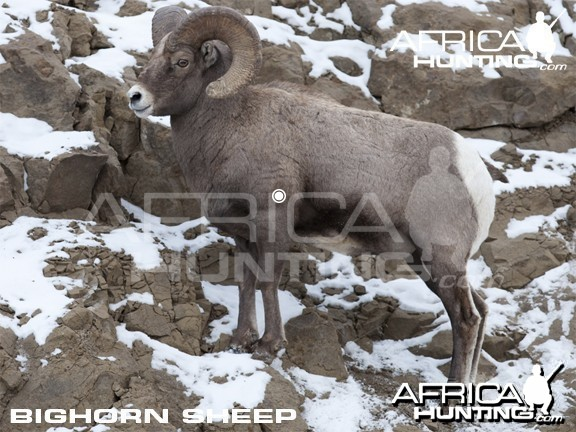 Hunting Vitals Bighorn Sheep