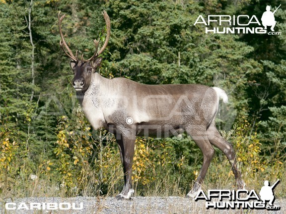 Hunting Vitals Caribou