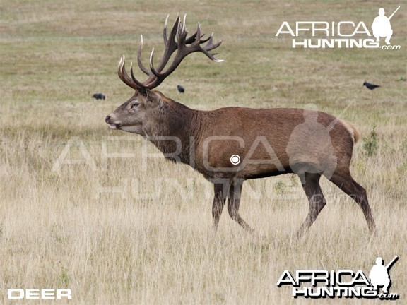 Bowhunting Vitals Deer