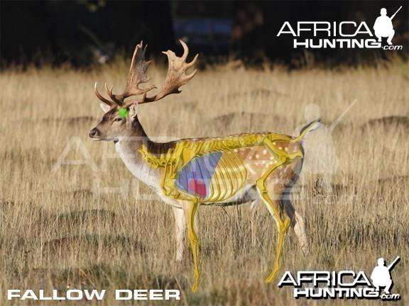 Bowhunting Vitals Fallow Deer