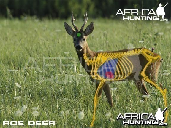 Bowhunting Vitals Roe Deer