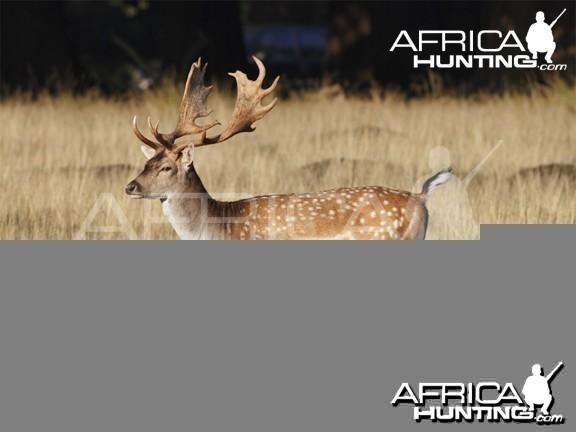 Hunting Vitals Fallow Deer