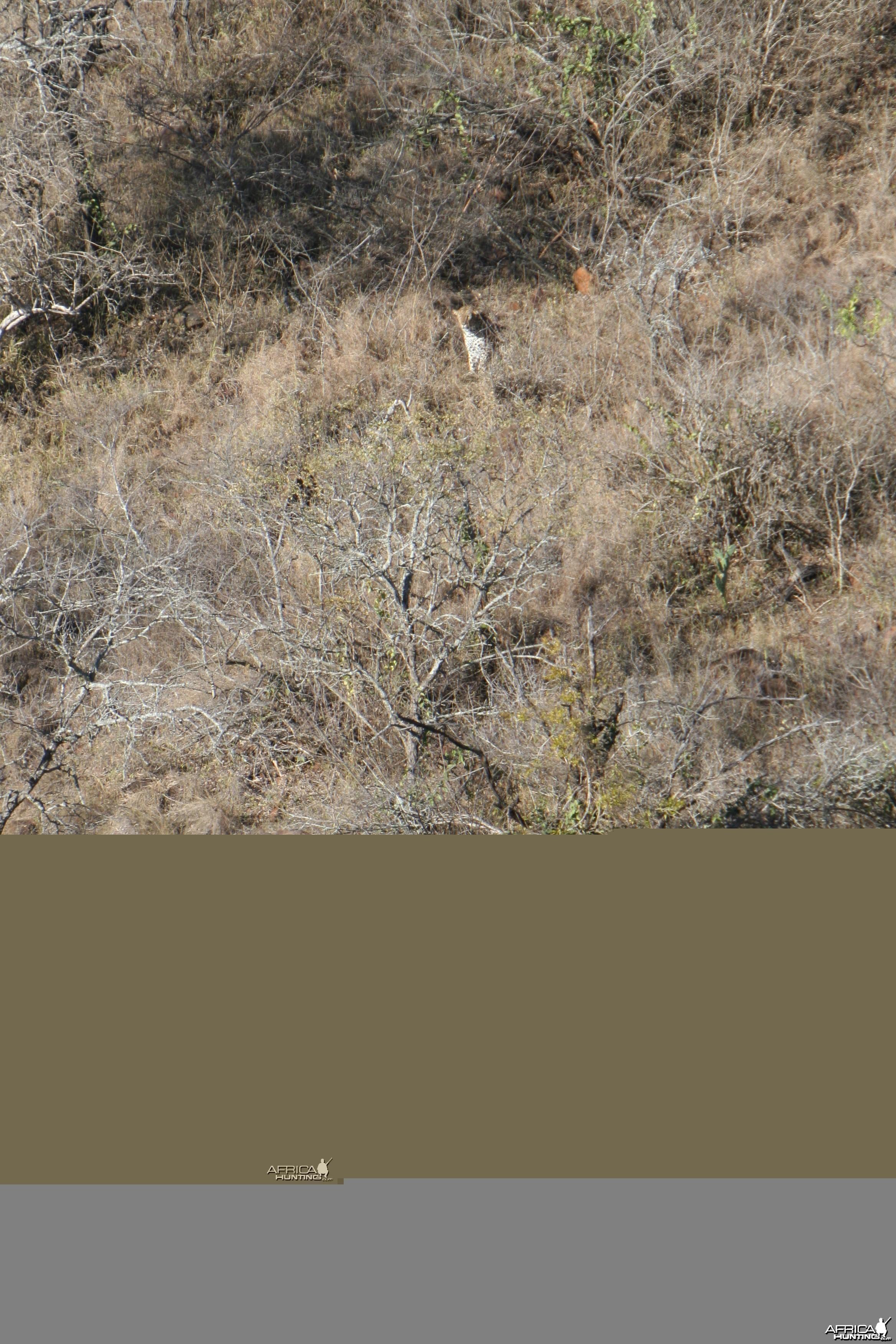 Leopard stalking Bushbuck
