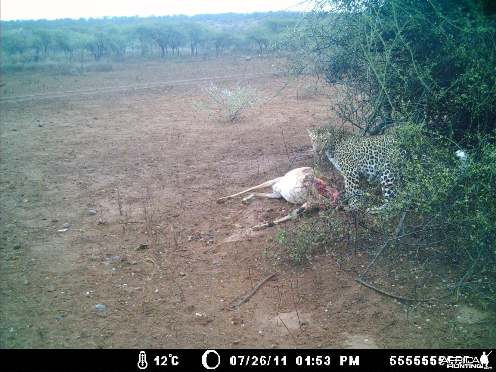 Leopard Kill
