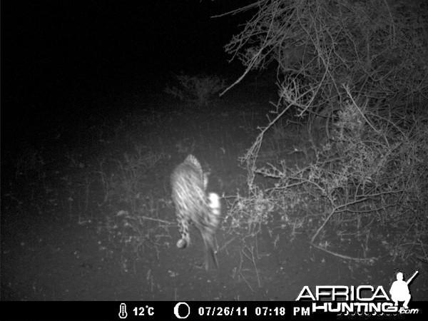 Leopard Kill - Robbed