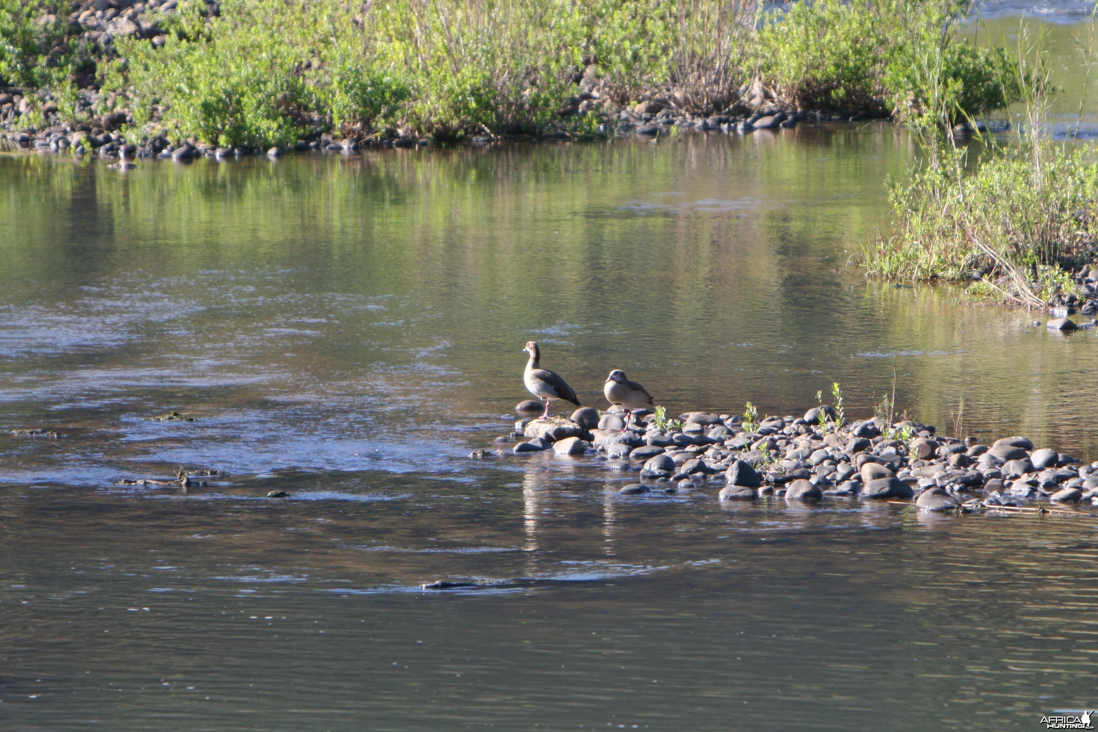 Egyptian Geese at the crossing