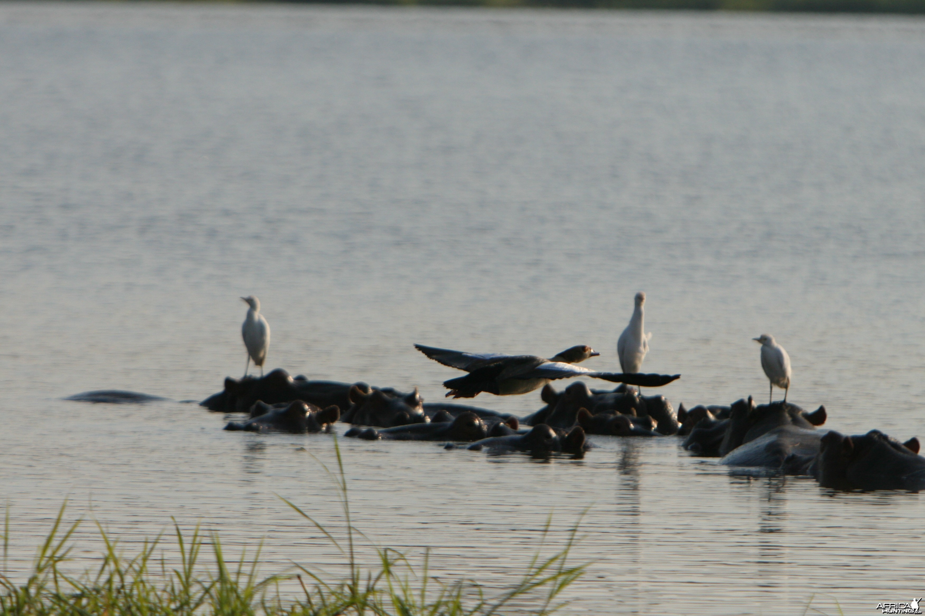 Egyptian Goose Snowy Egrets and the Hippo Island