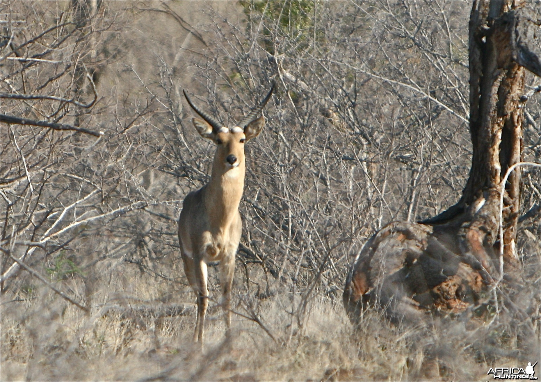 Trophy reedbuck in cover
