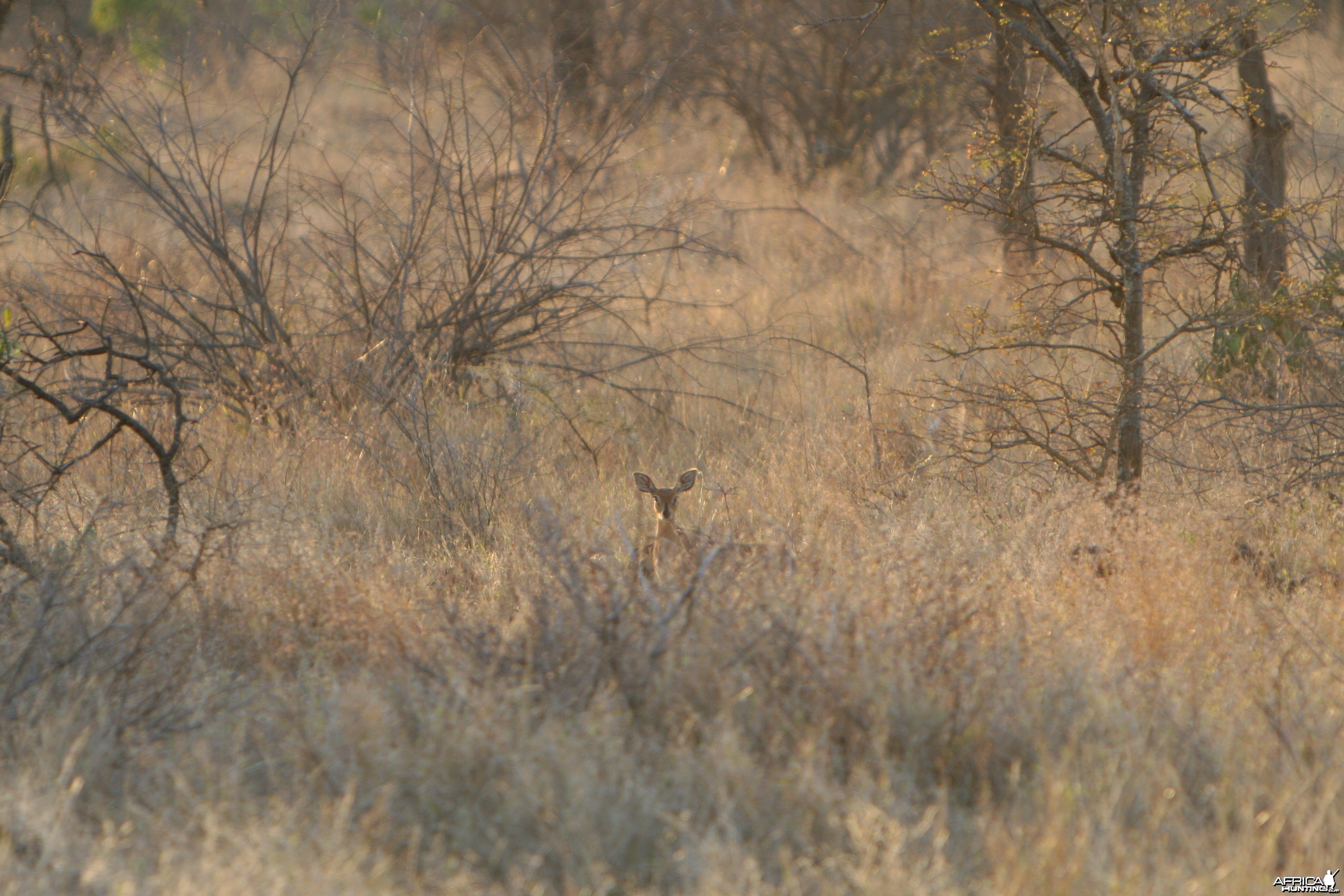 Steenbuck Female