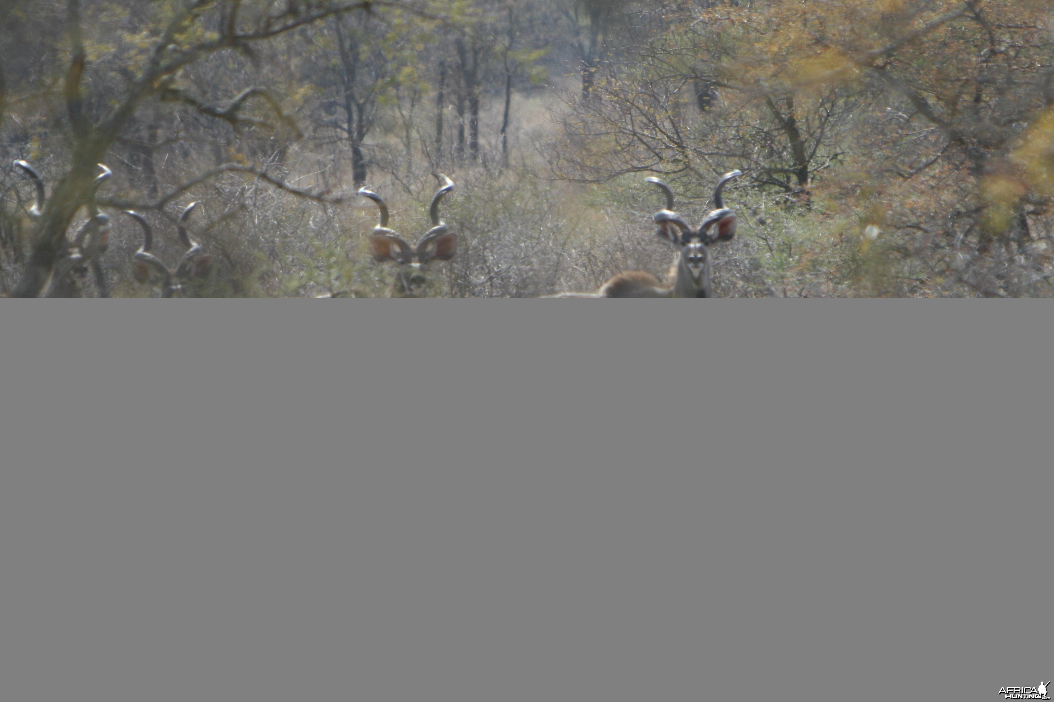 Kudu Bulls