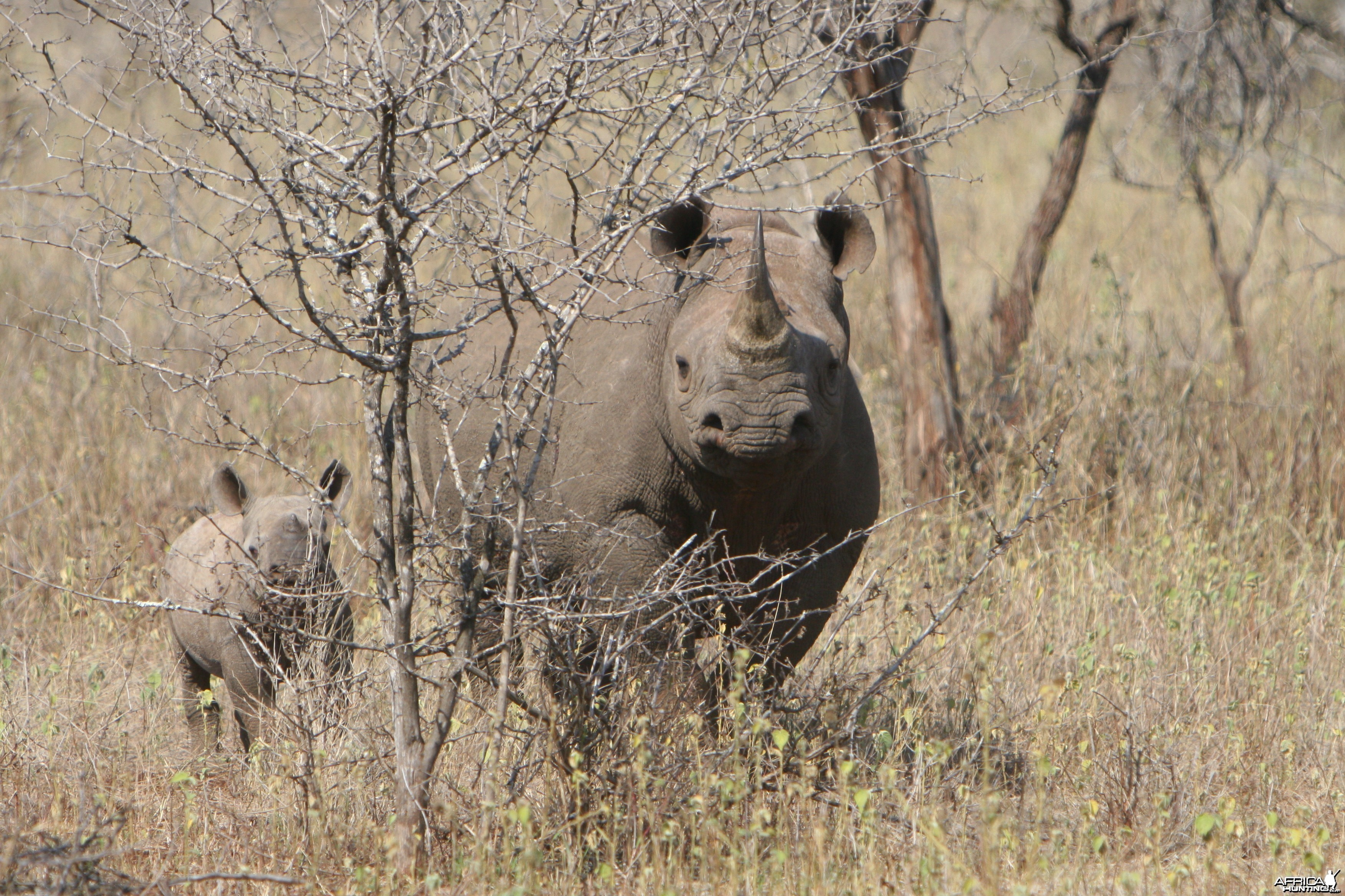 Black Rhino Cow & Calf