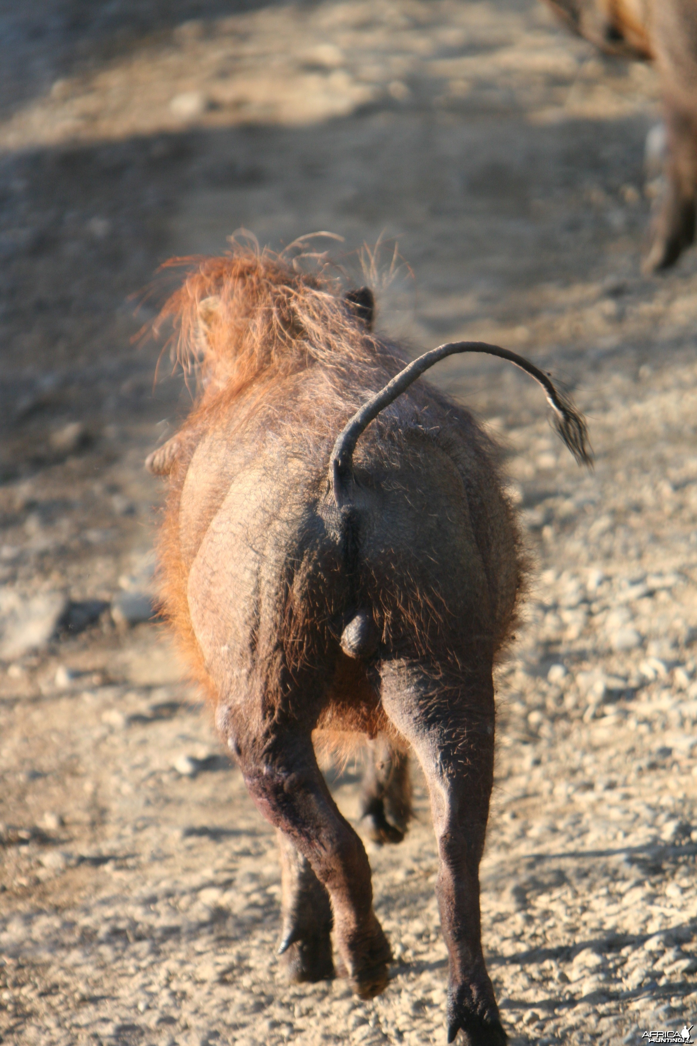 Warthog trotting away