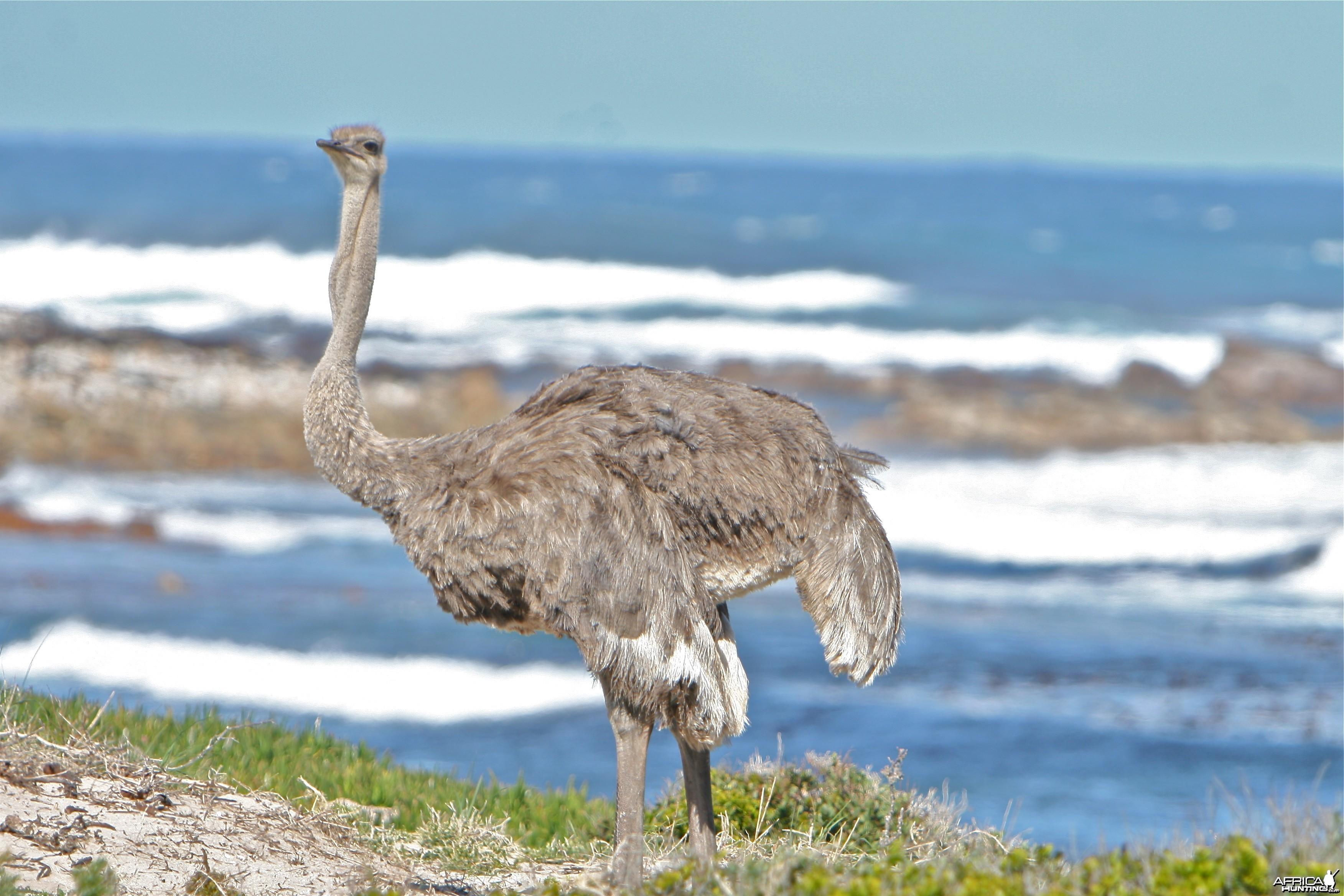 Cape Ostrich