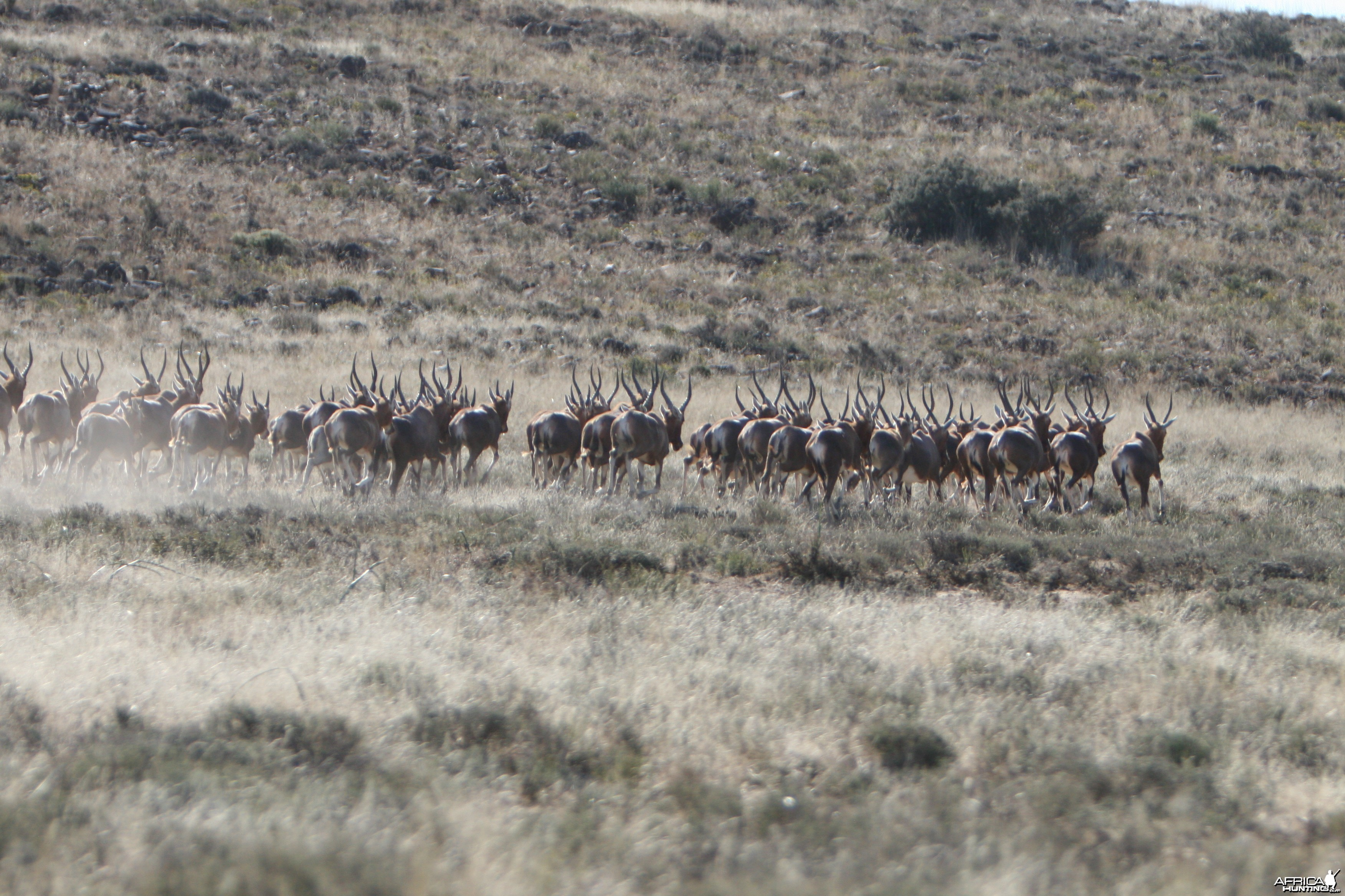 Blesbok Herd